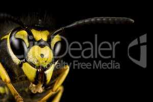 head of wasp in black background