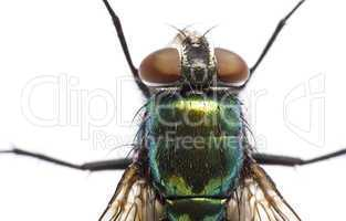 iridescent: house fly in close up