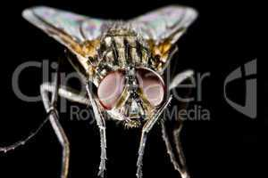 Hose fly with black background and huge compound eyes