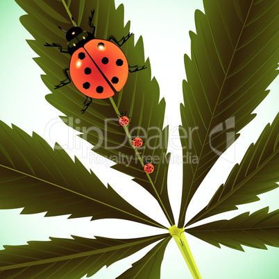 ladybugs on cannabis leaf