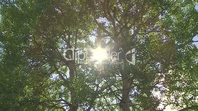 Sun with green aspen poplar trees zoom in