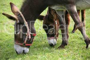 Esel und Muli