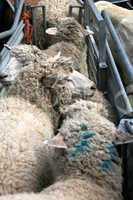 Zur Schur zusammengetriebene Schafe