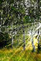 Birch grove in the sun