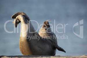 Seehund (Phoca vitulina); Harbor Seal (Phoca vitulina)