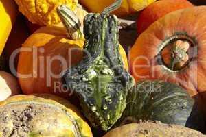 Kürbis-Ernte - Many different pumpkins for sale on trailer