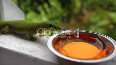 Gecko Gets His Dinner