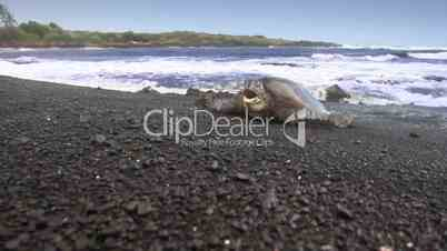 Sea Turtle Climbing Ashore