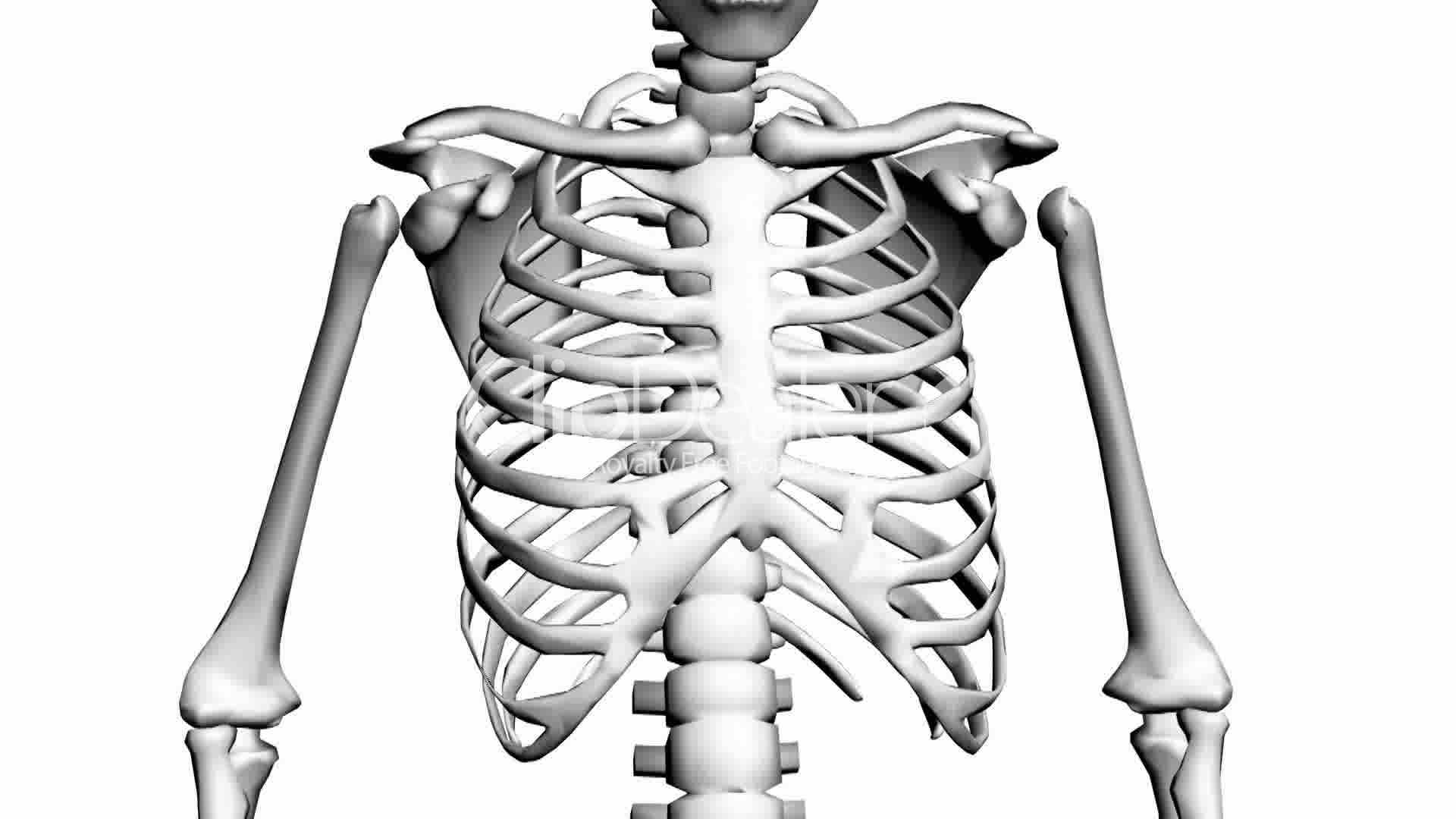 rotation of 3d skeleton.ribs,chest,anatomy,human,medical,body, Skeleton