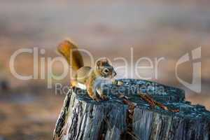 Alert Red Squirrel on Old Weathered Tree Stump