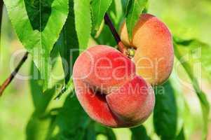 Plattpfirsich - saturn peach 02