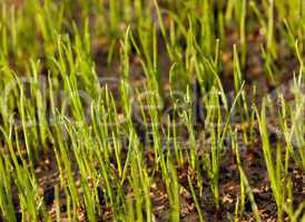 Newly planted grass seeds start to grow