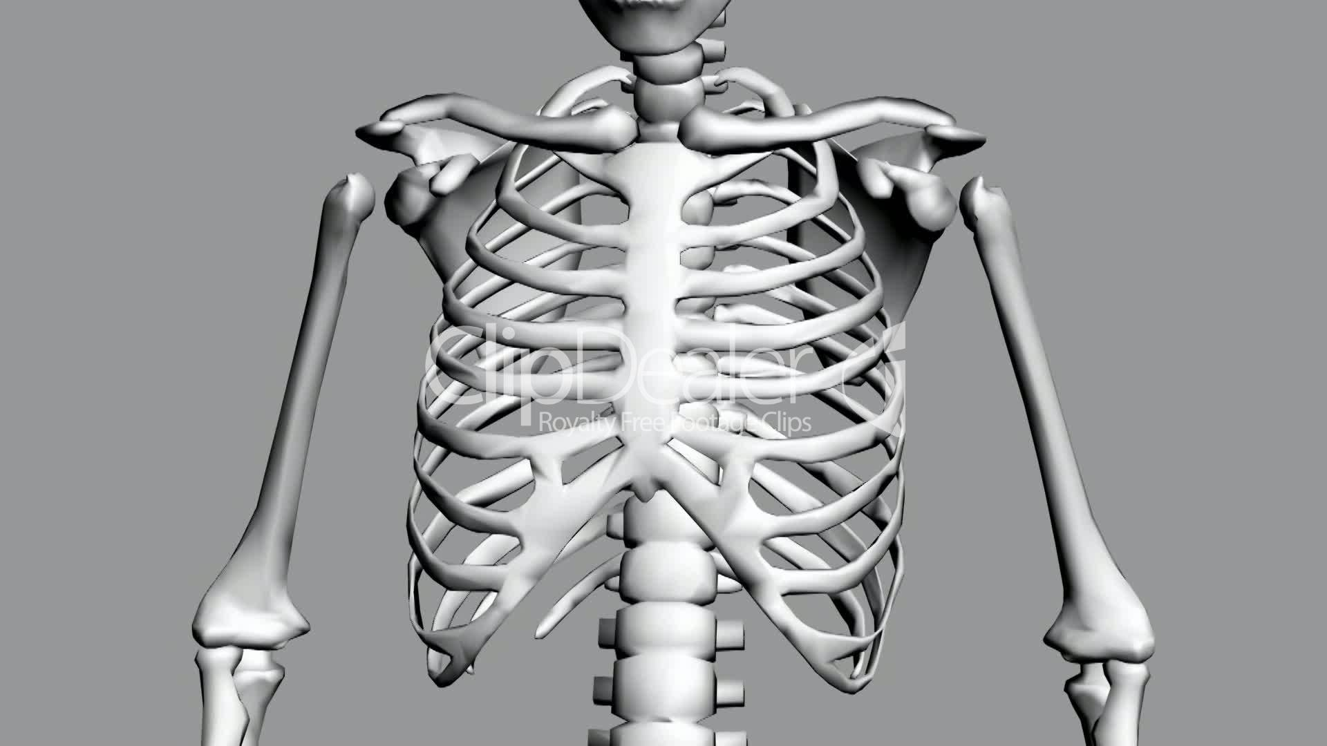 Rotation Of 3d Skeletonribschestanatomyhumanmedicalbodyskull