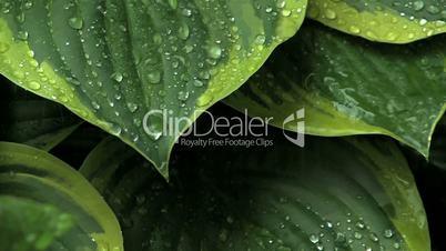Rain on Leaves 1