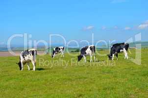 Cows grazing in a green field under a blue sky