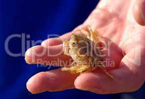 Fundstück kleine Krabbe im Watt an der Nordsee auf Sylt