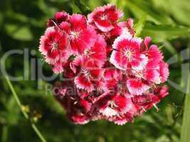 Bartnelke / Dianthus barbatus