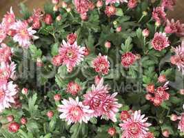 Chrysanthemum picture