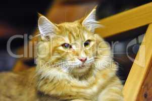 red norwegian forest cat portrait