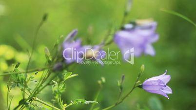 Closeup bluebell on green grass breeze - rack focus