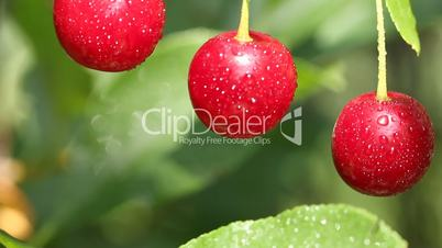 Closeup of three cherries with drops on cherry-tree in orchard