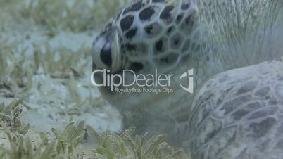 Side View of an adult Green Turtle feeding on sea grass. Red Sea, Egypt.