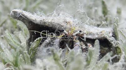 White-stalked hermit crab
