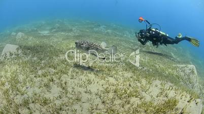 Scuba diver photographing a Porcupine fish over a sea grass bed.