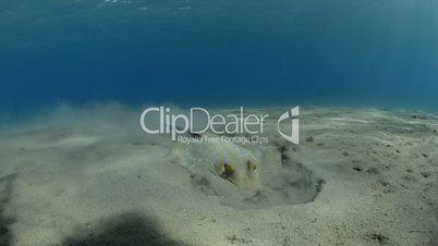 Blue spotted stingray foraging in the sand for food