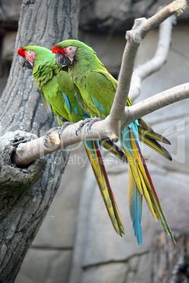 Military Macaws (Ara Militaris)