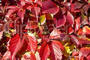 The texture of red vine leaves