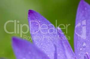 water lily petals