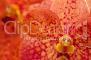 Orange Orchid.