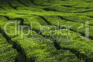 Tea plantation.