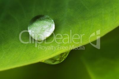 Water drop on lotus leaf.