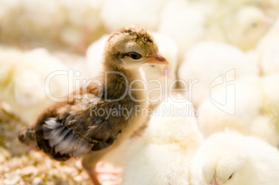 Outstanding chick