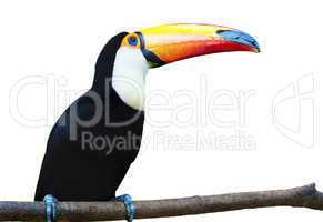 Beautiful Toucan on White Background.