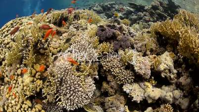 Pristine coral reef habitat in shallow tropical water.
