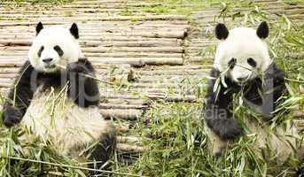 two pandas feeding