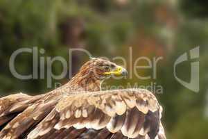 Adler setzt zum Flug an
