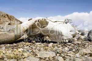 yak skull
