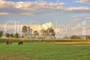 grazing cow in sunset