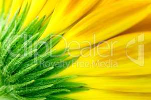 closeup of yellow Gerbera