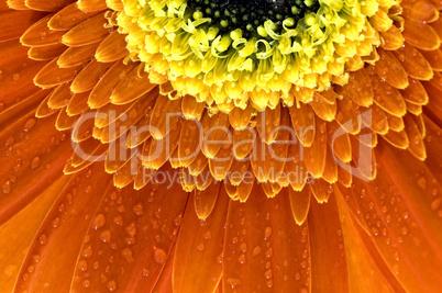 closeup of orange Gerbera