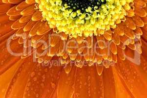 closeup of orange Gerbera