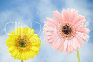 gerbers flower against blue sky