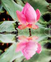 reflection of beautiful pink lotus