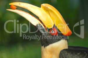 hornbill feeding papaya
