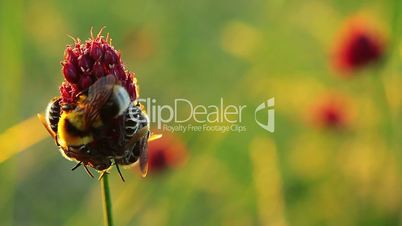 bees and bumble-bee on a flower