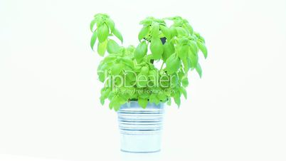fresh basil rotating on white background
